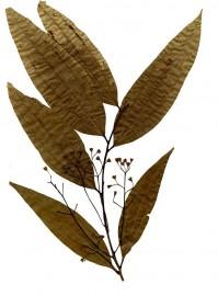 Tejpatra(Cinamomum Zeylanicum)