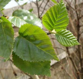 BhojPatra(Betula utilis)
