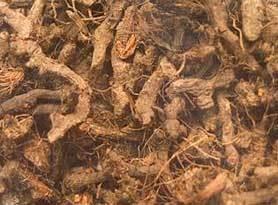Nagarmotha(Cyperus Rotundus)